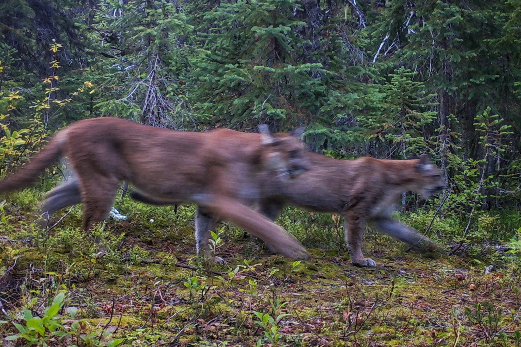 Two cougars run past a motion-triggered trail camera near Granby Provincial Park. (SIMDeer Project)